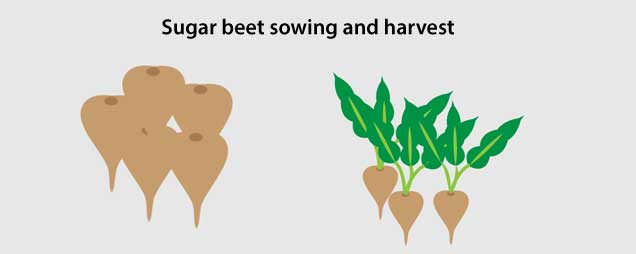 Sugar beet sowing and harvest